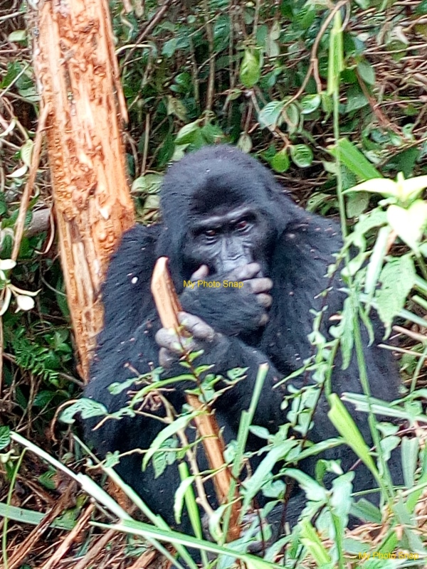 Gorilla in Bwindi National Park - MyPhotoSnap.com
